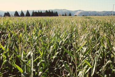 corn.jpg